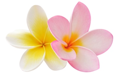 Journey for the Senses Frangipani
